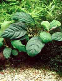 Anubis Barterův var. cofeifolia - Anubias barteri var. cofeifolia