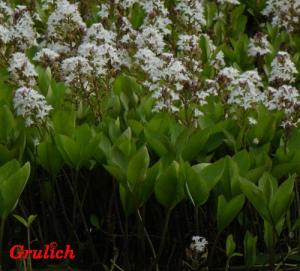 Vachta trojlistá - Menyanthes trifoliata ( Linné )